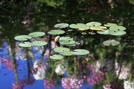 2011.07.17 大船植物園 スイレンの池