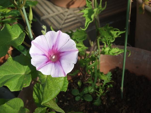 我が家の朝顔一番花