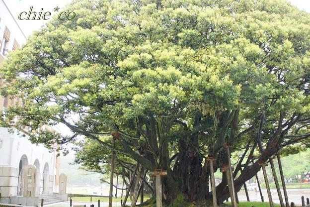 椎の樹・・