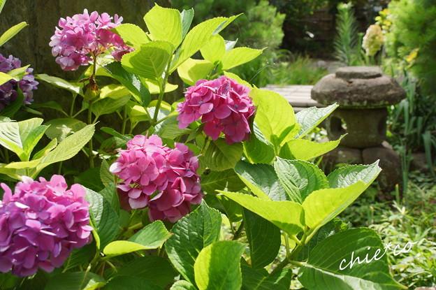 名残りの紫陽花・・