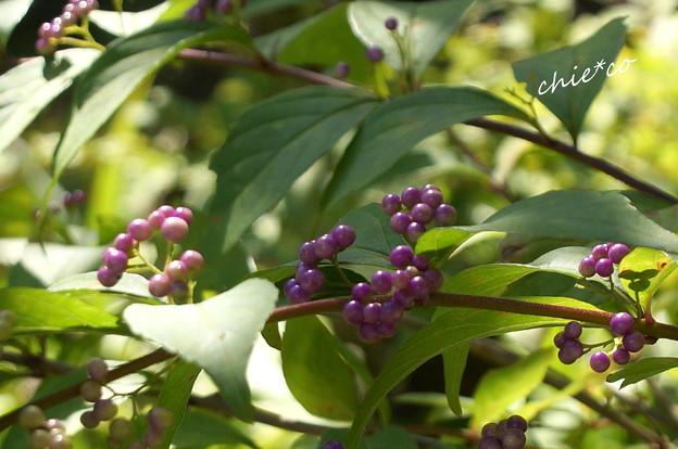 小紫(こむらさき)・・