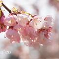 写真: 大寒桜。。2