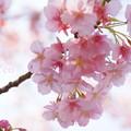 写真: 河津桜。。