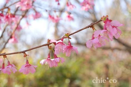 おかめ桜。。