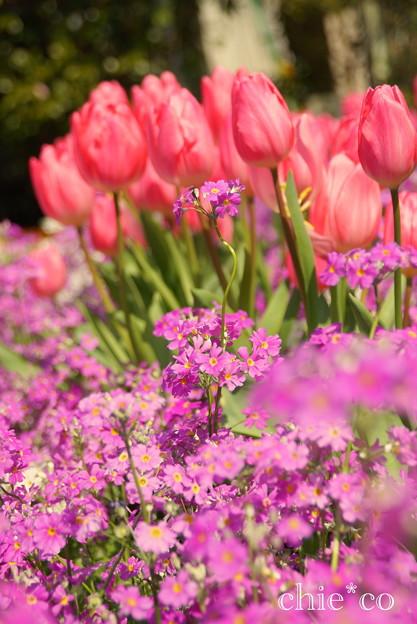 プリムラ マラコイデスとチューリップの花壇で。。