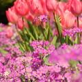 写真: プリムラ マラコイデスとチューリップの花壇で。。