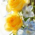 写真: 黄色のバラと・・みずいろのデルフィニウム・・