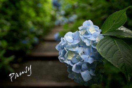 明月院 blue・・6