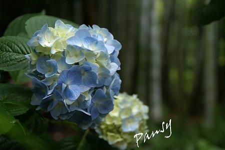 明月院 blue・・7