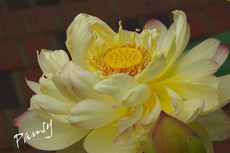 華やかな蓮の花・・