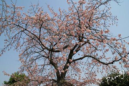 大寒桜・・