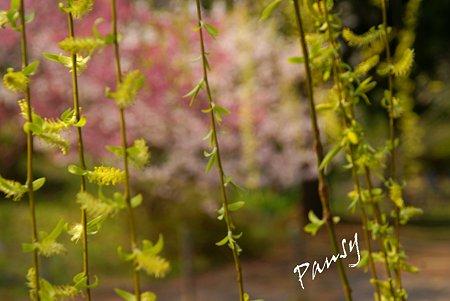 柳と・・桜と・・