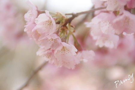 淡くやさしく・・大寒桜