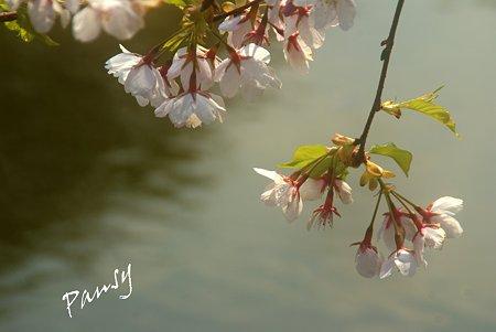 水辺の桜・・