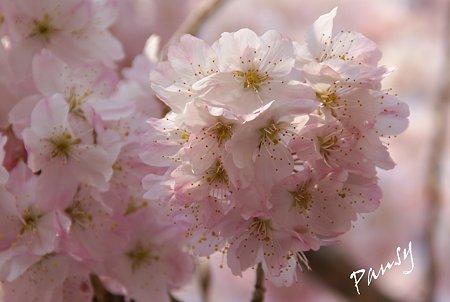 花手毬のように・・大寒桜
