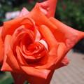 霊山寺のバラ15