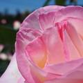 霊山寺のバラ16