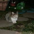Photos: 盗猫(ぬすっと)と鉢合わせ
