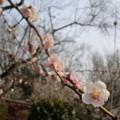 Photos: 筑波山観梅3