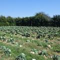 収穫を終えた芽キャベツ畑で