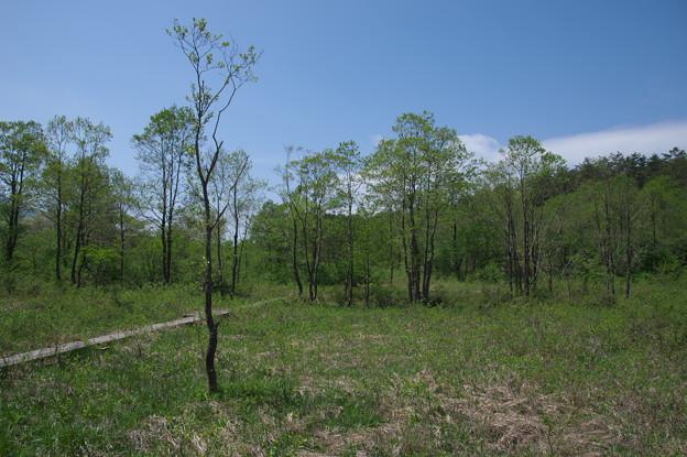 新緑の湿原