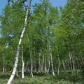 Photos: 新緑の白樺林