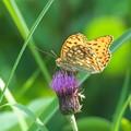 写真: 高原の蝶