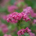 Photos: ソバの花