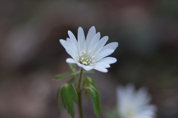 写真: 一華の花(1)