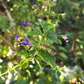 写真: アキチョウジ園芸種1610070005