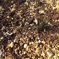 写真: シンテッポウユリ種子発芽1702200002