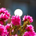写真: シャクナゲツツジとお月様!