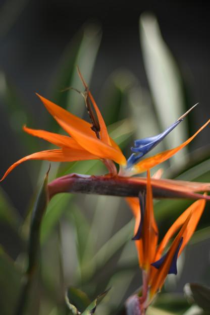 新宿御苑温室の花1
