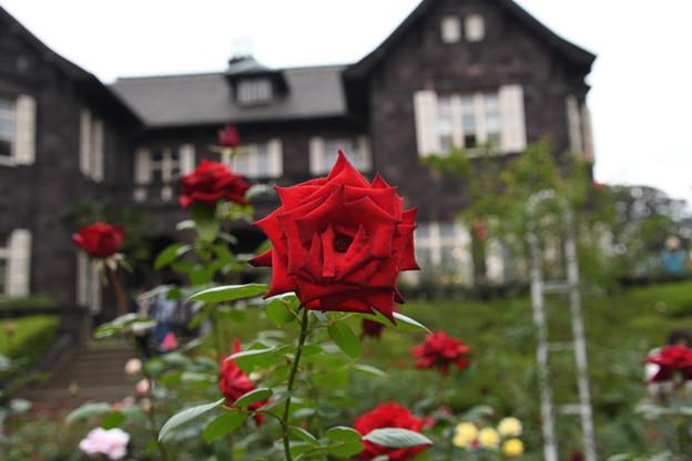 旧古河庭園の薔薇5