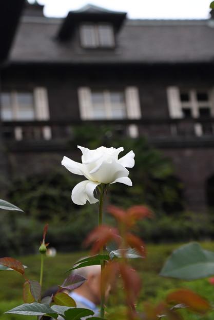 旧古河庭園の薔薇7ユキサン