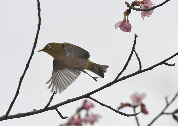 修善寺寒桜ぼて飛ぶメジロ