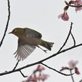 Photos: 修善寺寒桜ぼて飛ぶメジロ