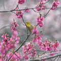 Photos: 寒緋桜に