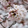 3月28日の桜2