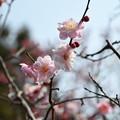 写真: 梅園~ふわふわの淡いピンク