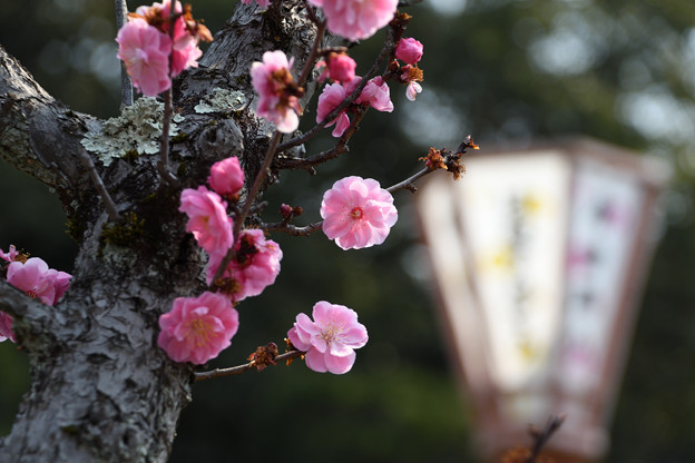 Photos: ぼんぼりと