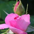 写真: 薔薇の香り