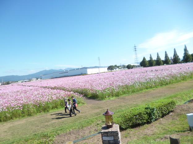キリンビール福岡工場コスモス園