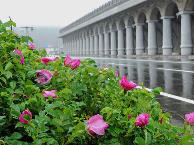 北防波堤ドームと雨に萎れたハマナス
