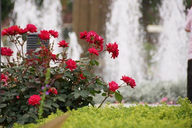 赤いバラと噴水20160528e