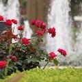 写真: 赤いバラと噴水20160528e
