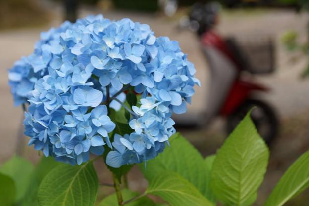 ブルーのアジサイ20160604c