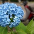 写真: ブルーのアジサイ20160604c