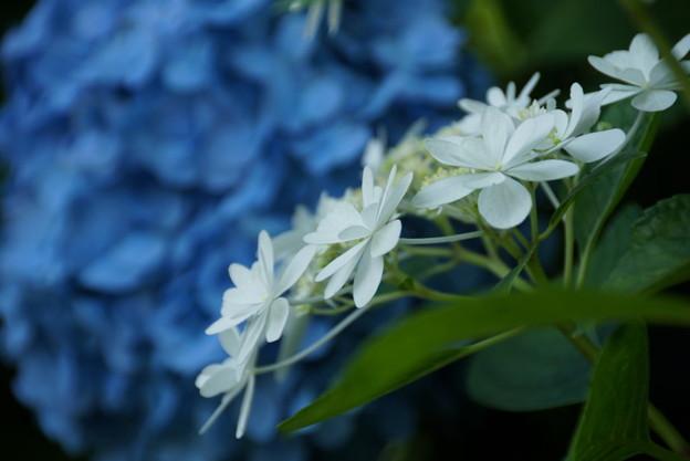 写真: あじさい青と白20160611f