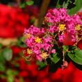 写真: サルスベリ赤161002-7525